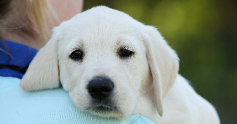 Sponsoring a Guide Dog Puppy is Definitely a Good Idea
